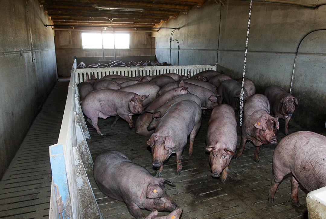 Varkensbedrijf in Spanje. Foto: Ronald Hissink