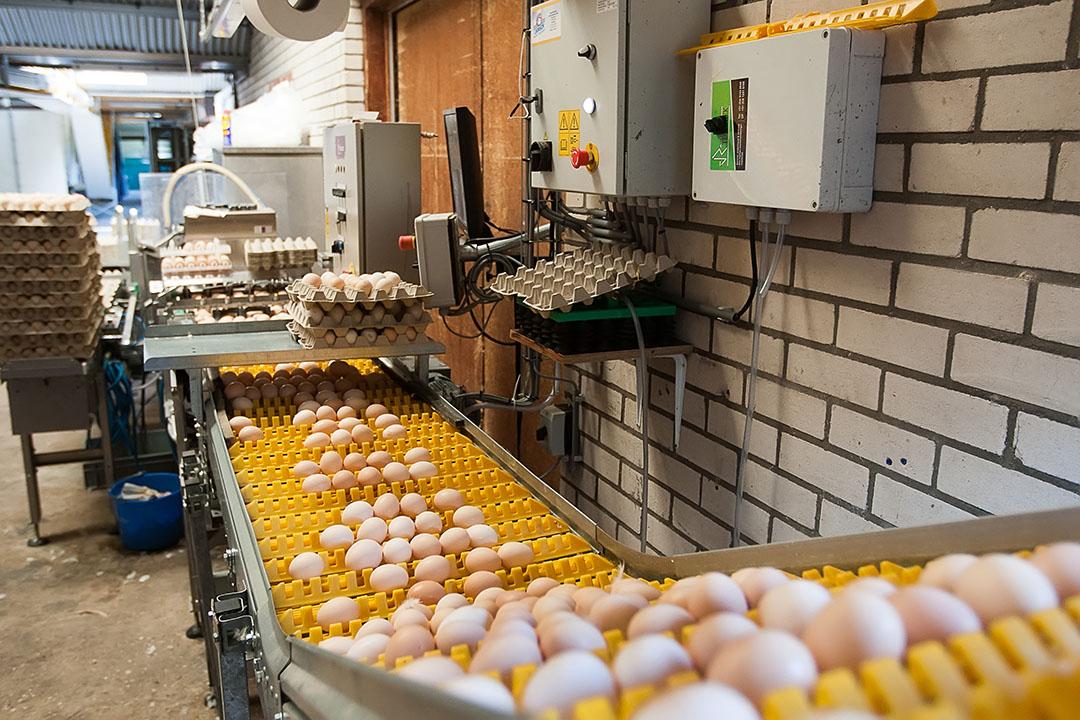 Broedeieren worden verzameld op een vleeskuikenouderdierenbedrijf. - Foto: Ronald Hissink