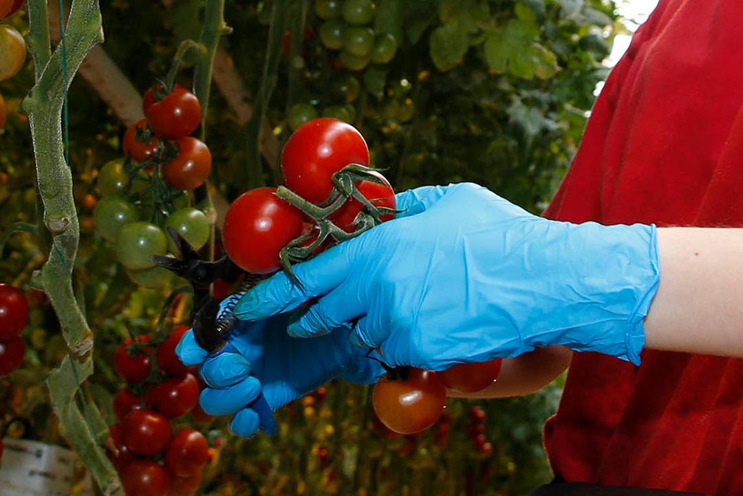 Goede hygiëne in productie en distributie is ook in de tuinbouw het meest effectief om virusverspreiding te voorkomen. - Foto: Duo Foto