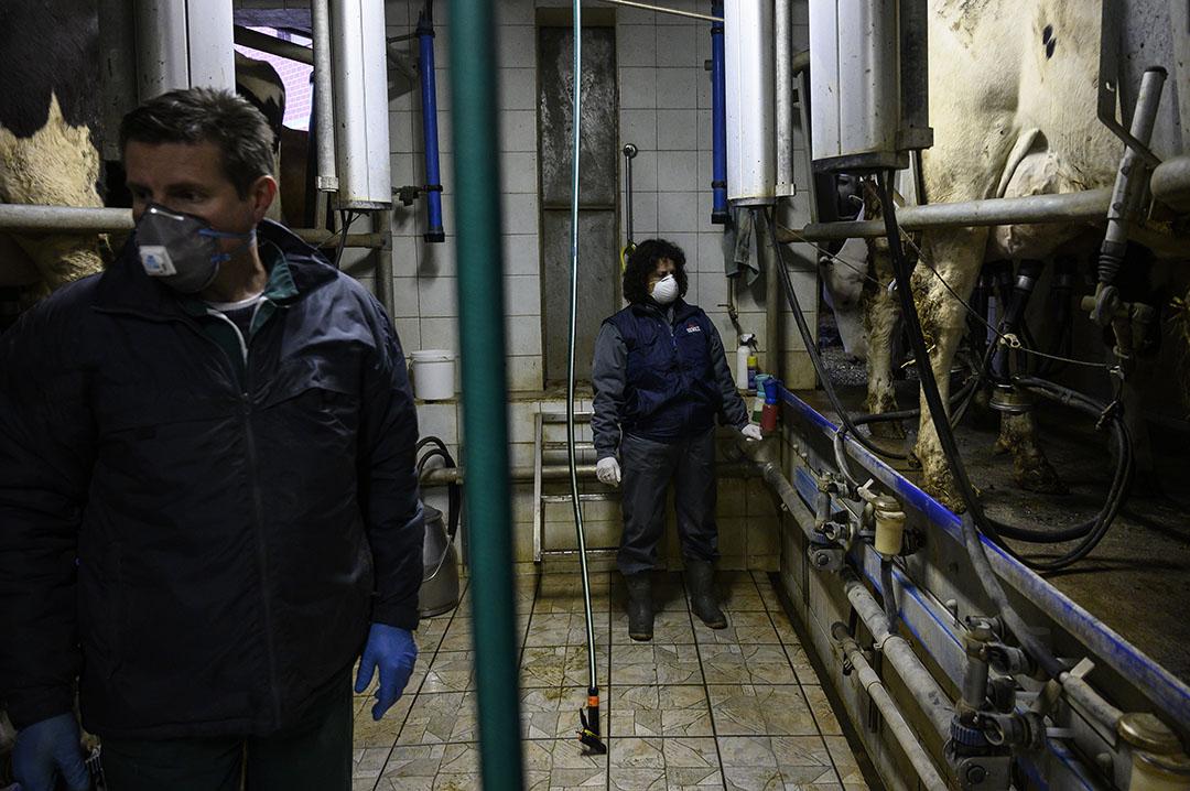 Italiaanse melkveehouders dragen tijdens het melken mondkapjes ter bescherming tegen het coronavirus. - Foto: ANP
