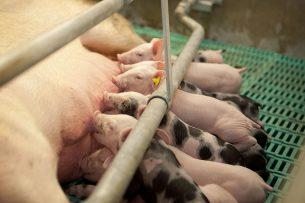 Zeug met drinkende biggen. Er zijn ruim 500 aanvragen voor de warme sanering van de varkenshouderij. Het duurt langer voordat aanvragers daarover een beschikking ontvangen, laat LNV weten. - Foto: Bart Nijs.