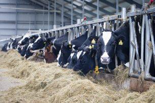 Koeien aan het voerhek. - Foto: Anne van der Woude