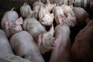 De varkensvleesmarkt staat op zijn kop door corona, merkt Vion. - Foto: Hans Banus