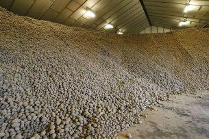 Op 1 april lag nog bijna 1,5 miljoen ton fritesaardappelen in de bewaarschuren. Daarvan is voor een half miljoen ton nog afzet te vinden. - Foto: Bert Jansen