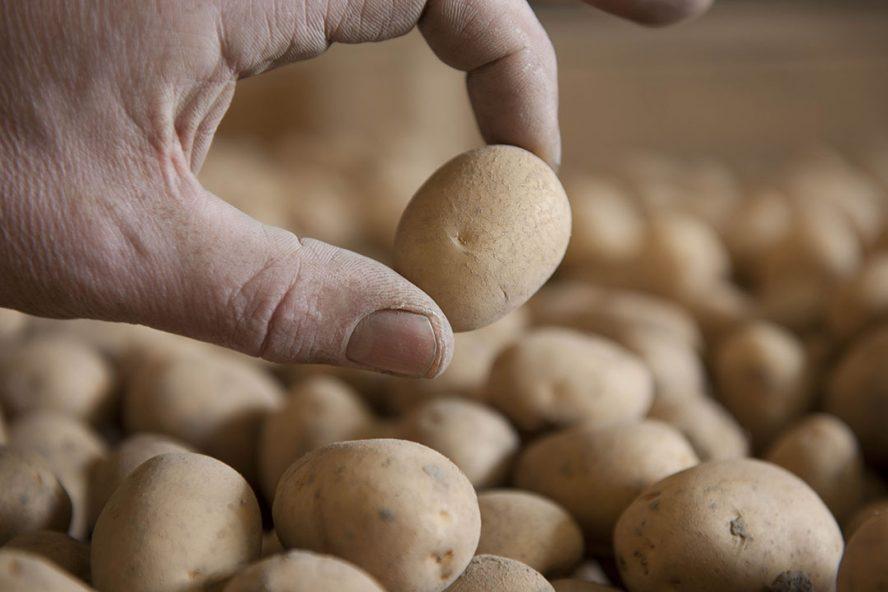 Aardappelen in bewaring. - Foto: Mark Pasveer