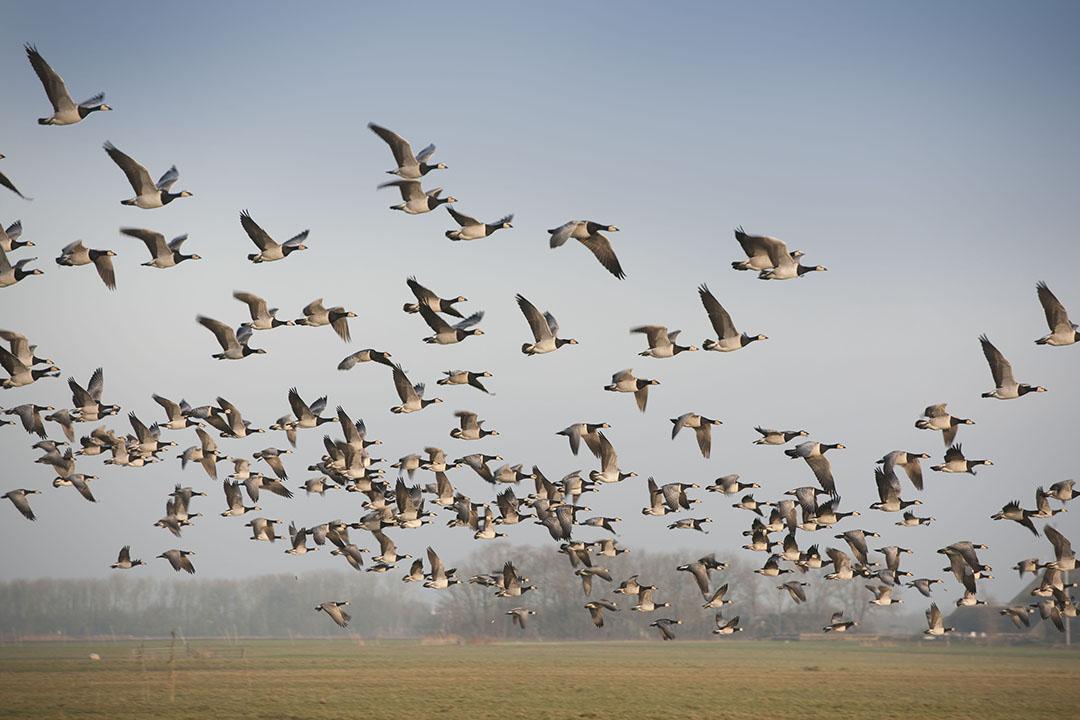 Voor schade door ganzen buiten foerageergebieden geldt in Friesland een eigen risico van 20%. - Foto: Mark Pasveer