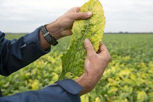 Vergelingsziekte in suikerbieten. De groene perzikbladluis brengt het over. Foto: Mark Pasveer