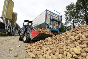 Aardappelen zijn een mooie oplossing om bij te voeren nu de verkrijgbaarheid van mais te wensen over laat. - Foto: Ruud Ploeg