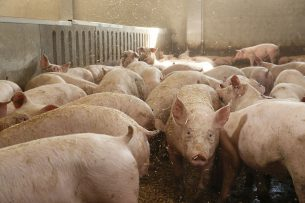 Vleesvarkens in de stal. - Foto: Hans Prinsen