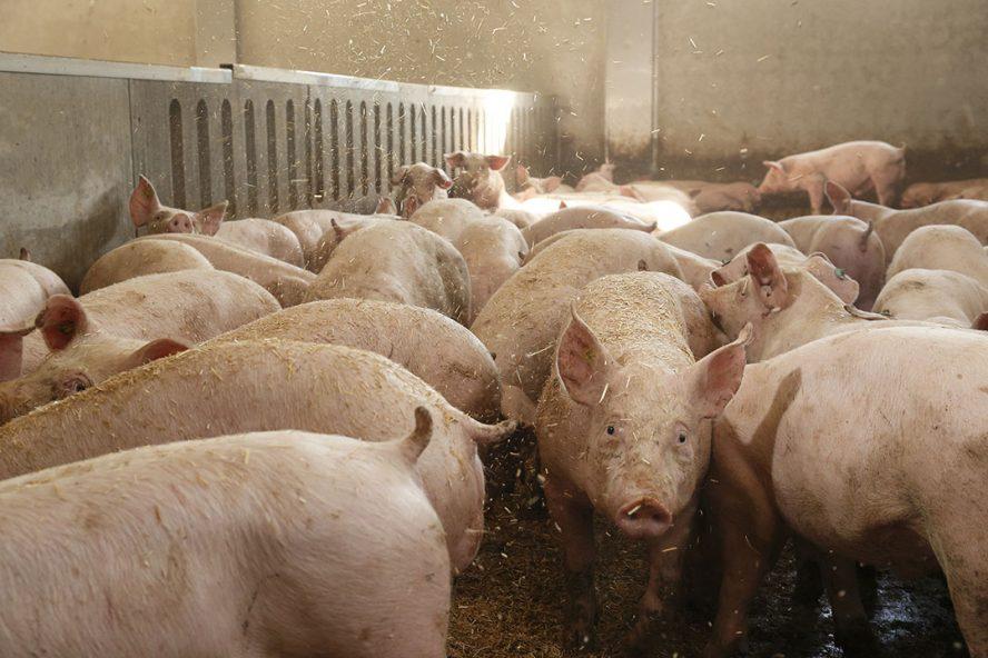 Vleesvarkens in een stal. - Foto: Hans Prinsen
