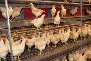 De meeste eieren in Duitsland worden nog steeds gelegd in scharrelsystemen. - Foto: Henk Riswick