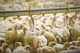 Tot nu toe zijn geen gevallen bekend waarbij mensen door dieren met het coronavirus zijn geinfecteerd. Sommige virologen zien intensieve veehouderij wel als een risico. - Foto: Peter Roek