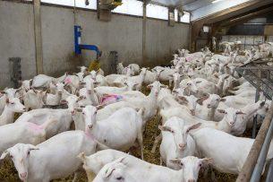 Eerdere onderzoeken naar het verband tussen gezondheidsrisico's en geitenhouderijen, is aanleiding geweest om in veel provincies een zogenaamde geitenstop af te kondigen. - Foto: Peter Roek