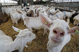 Het onderzoek naar longontsteking in de nabijheid van geitenbedrijven in Gelderland, Overijssel en Utrecht is een vervolg op eerder onderzoek in Brabant en Limburg. - Foto: Lex Salverda