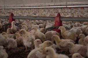 Vleeskuikens in de stal. - Foto: Galama Media