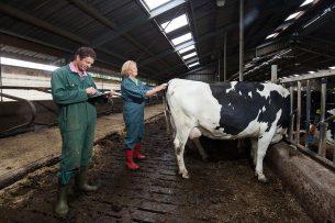 Dierenarts bezig met het scoren van conditie en pensvulling van droge koeien. - Foto: Herbert Wiggerman