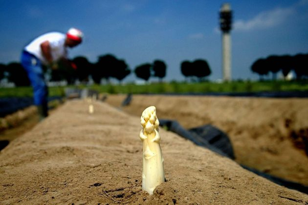 Archieffoto. Asperges steken in Limburg. - Foto: ANP