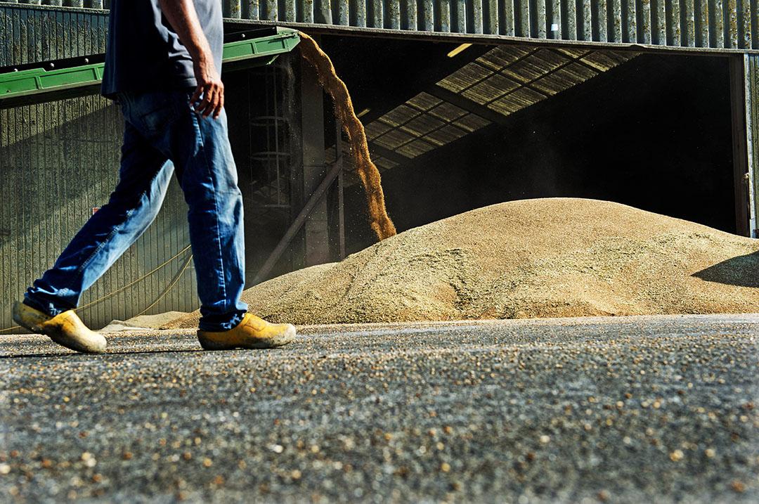 Geoogst graan van een akkerbouwer wordt gestort in de opslag. Door lagere productie en opbrengstprijzen maakten akkerbouwers minder omzet en winst.- Foto: ANP