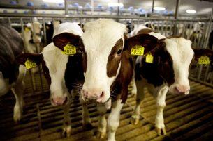 Door de uitbraak van het coronavirus is de afzet van kalfsvlees grotendeels stil komen te liggen. - Foto: ANP