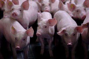 De coronacrisis heeft inmiddels ook zijn weerslag op de varkenshouderij. In de hele keten is veel onzekerheid. - Foto: ANP
