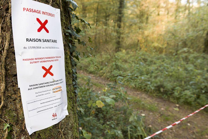 Vanwege Afrikaanse varkenspest bij wilde zwijnen golden in België strenge regels. - Foto: ANP