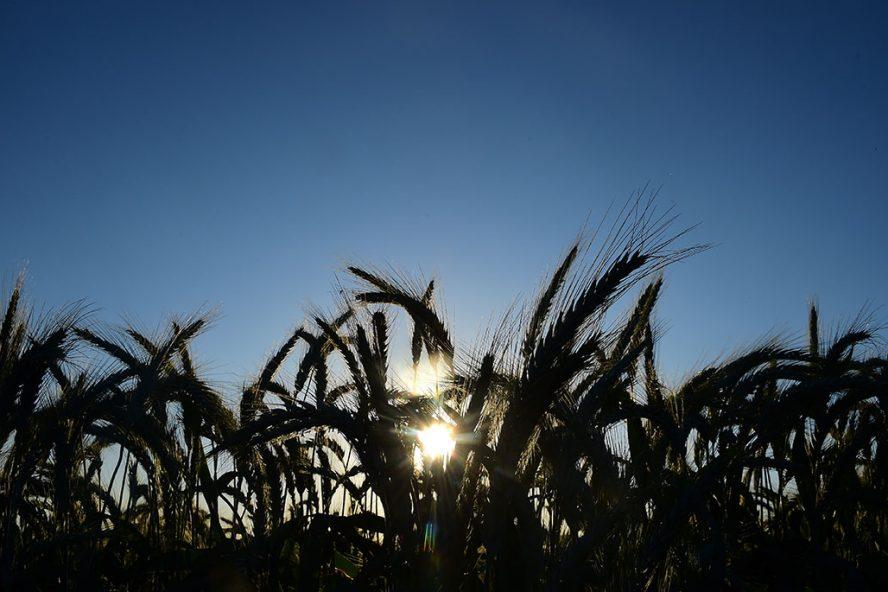 De tarweproductie stijgt in verschillende landen, zoals Argentinië, Australië, Canada en Rusland. Foto: ANP