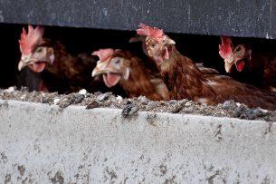 H6N1 wordt niet aangemerkt als meldingsplichtige dierziekte. Foto: ANP
