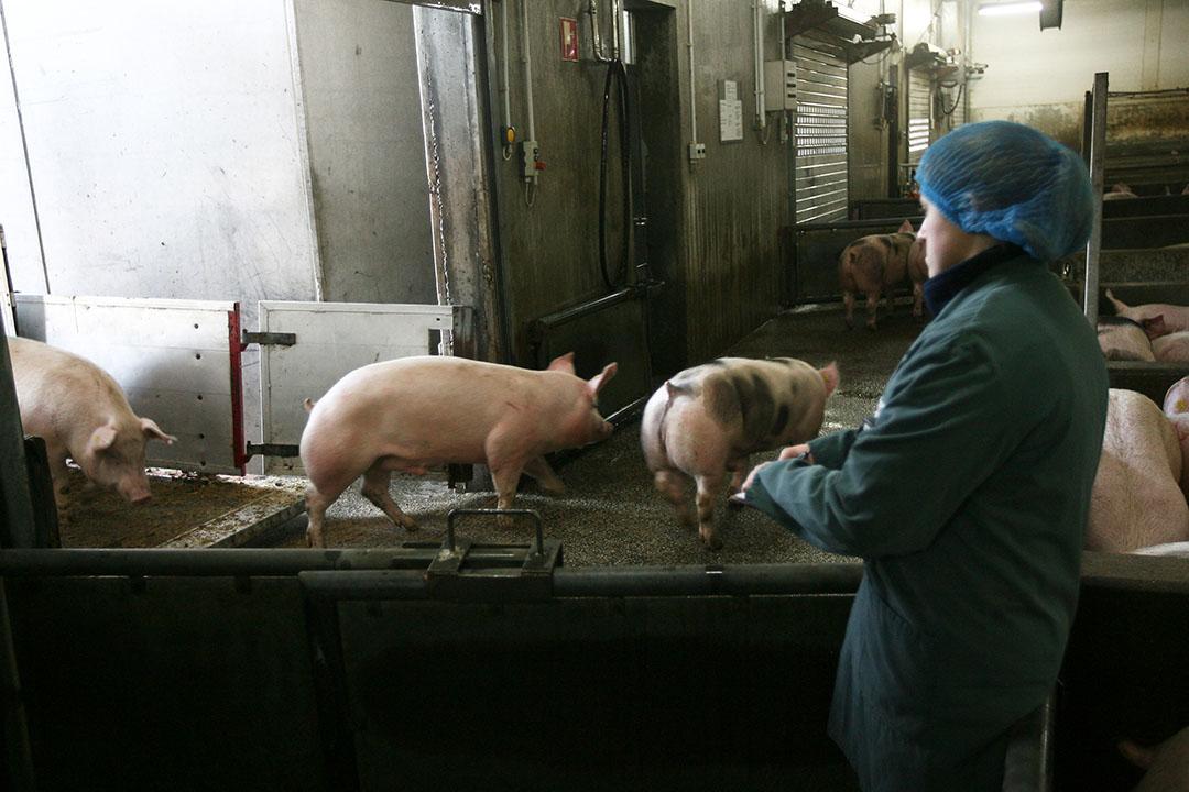 Medewerkers van slachterij Westfleisch in Coesfeldt (Duitsland) zijn besmet met het coronavirus. De slachterij is tot minstens 18 mei stilgelegd. - Foto: Ronald Hissink