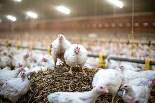 'Niet-reguliere vleeskuikenproductiesystemen, zoals de Kip van Morgen, maken gebruik van traag groeiende rassen en passen een lagere bezetting toe. Hierdoor zijn de productiekosten hoger.
