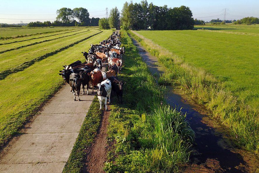 De wijze waarop het kavelpad wordt onderhouden, heeft invloed op de mobiliteit van de koeien. - Foto: Roel Dijkstra