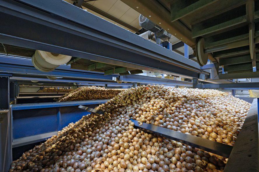 Verwerken van uien. Verwerkers draaien momenteel op volle toeren. - Foto: Ruud Ploeg