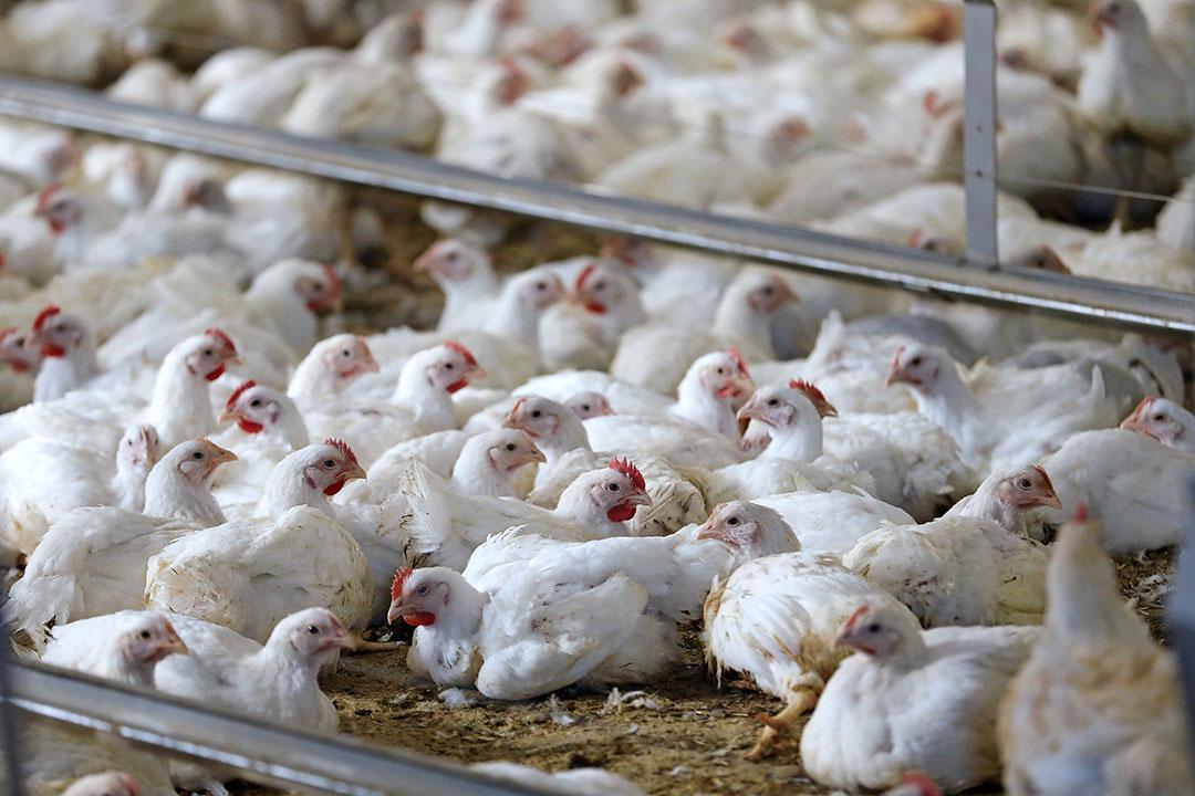 Vraag naar en handel in vrije kuikens is er nauwelijks. - Foto: Hans Prinsen