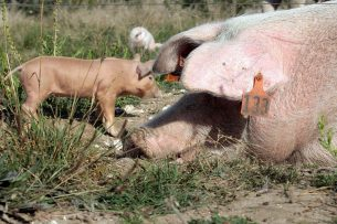 In Engeland wordt de helft van de varkens buiten gehouden in kleine hutjes met stro. Foto: Henk Riswick