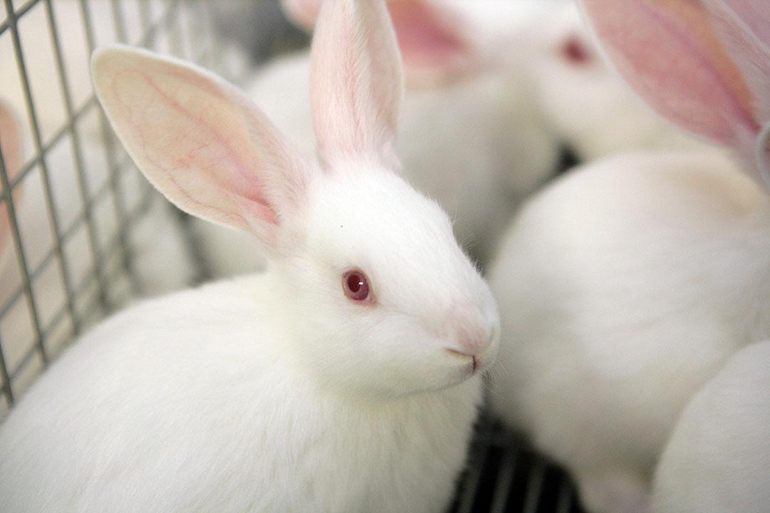 Vleeskonijnen. De konijnenhouderij is in Nederland een kleine sector. Foto: Henk Riswick