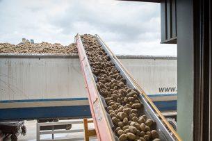 Fritesaardappelen op een transportband richting een vrachtwagen. - Foto: Peter Roek