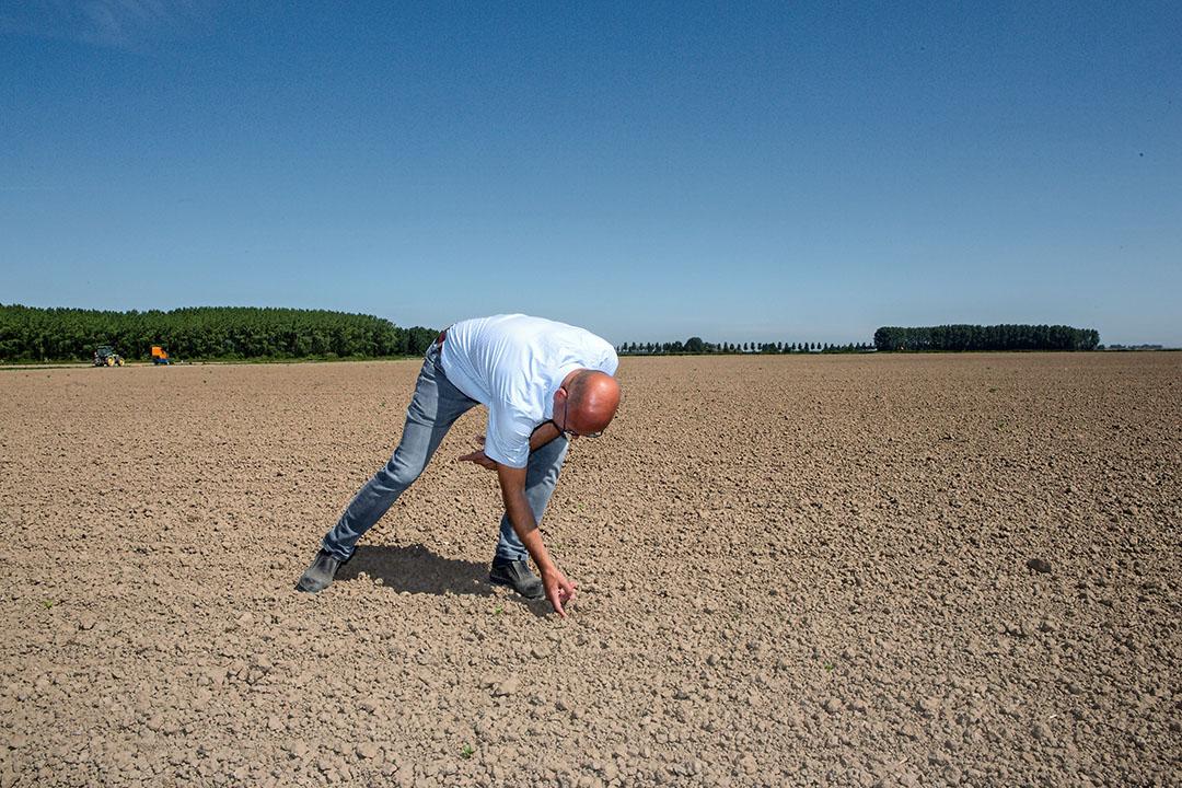 """Vincent Coolbergen van de Wilheminapolder telt sukerbieten. """"Nou ja tellen, er staan hele stukken geen planten. Misschien 20.000 per hectare. Dit wordt dus niks meer."""" - Foto': Peter Roek"""