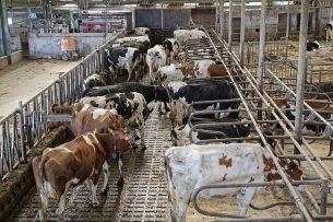 Tegelijkertijd is ook de stikstofuitstoot in de landbouw nagenoeg gelijk gebleven. In 2018 werd 503,5 miljoen kilo uitgescheiden, terwijl dat in 2008 491,3 miljoen kilo was. Foto: Lex Salverda
