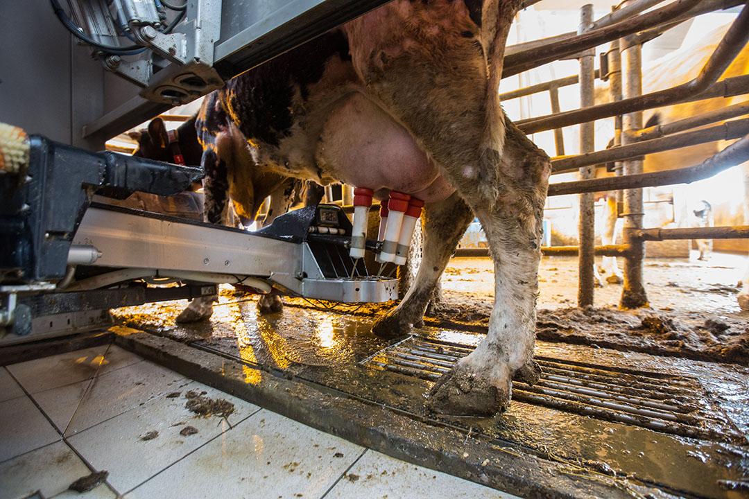 Een koe wordt gemolken in een melkrobot. - Foto: ANP