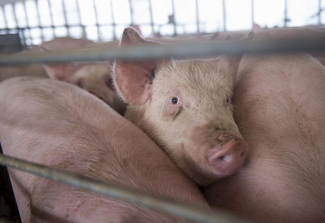 Amerikaans varkensbedrijf.  FAO verwacht dat Amerika meer varkensvlees gaat uitvoeren. Foto: ANP