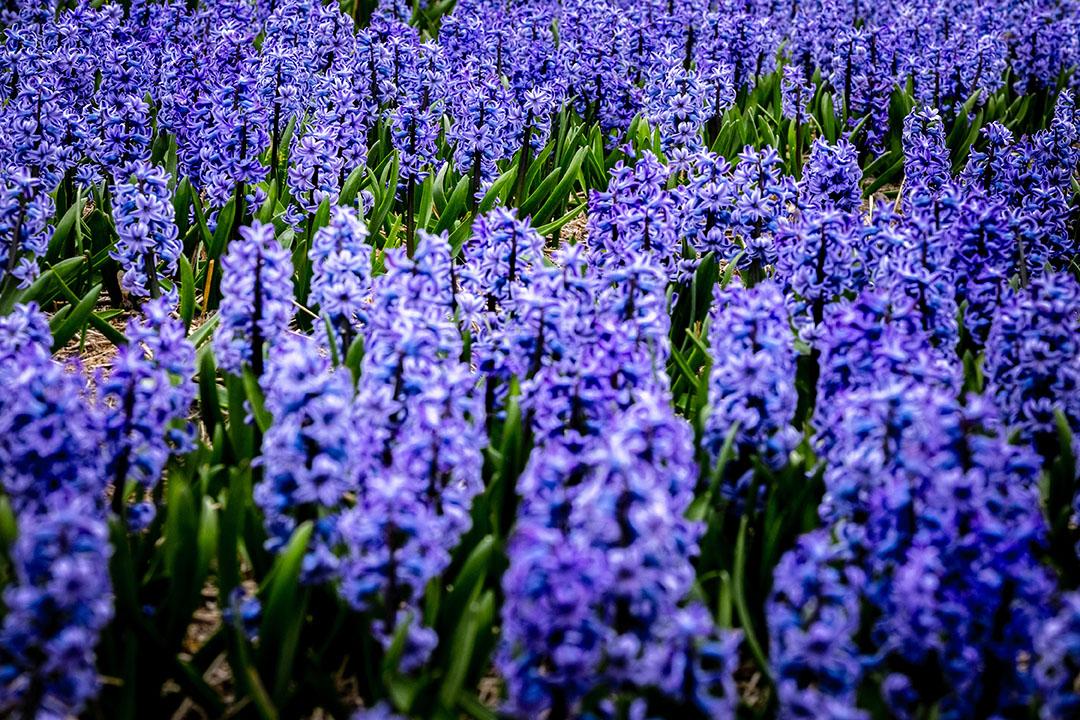 Hyacinten in bloei. Ook de Vlaamse sierteelt kan rekenen op extra steun. - Foto: ANP