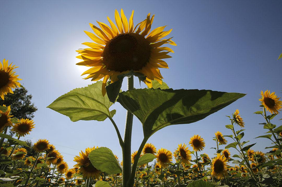 De export van zonnebloem-, saffloer- en katoenolie nam in waarde toe met 22,4% ten opzichte van een jaar eerder. Foto: ANP