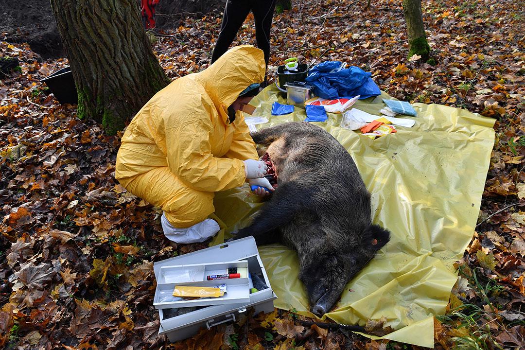 Een wild zijn wordt in Polen onderzocht op besmetting met Afrikaanse varkenspest. - Foto: EPA