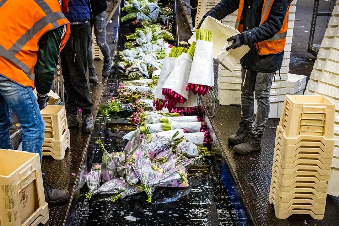 Bloemen worden doorgedraaid op de bloemenveiling. De Nederlandse sierteeltsector kon een beroep doen op overheidssteun. De regeling loopt binnenkort af. - Foto: ANP