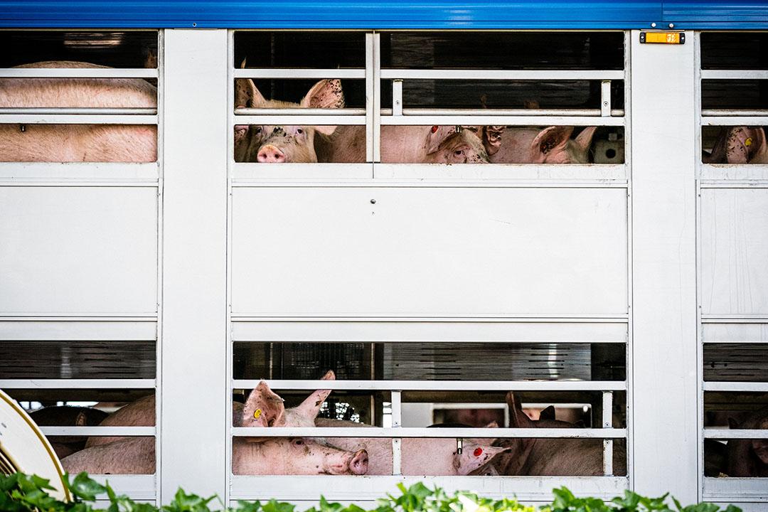 Slachtvarkens bij Vion in Boxtel. - Foto: ANP