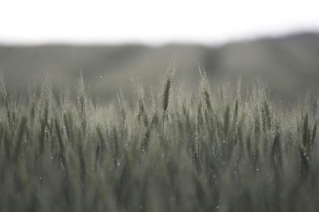 Mistdruppels op een perceel tarwe in Hongarije. - Foto: ANP