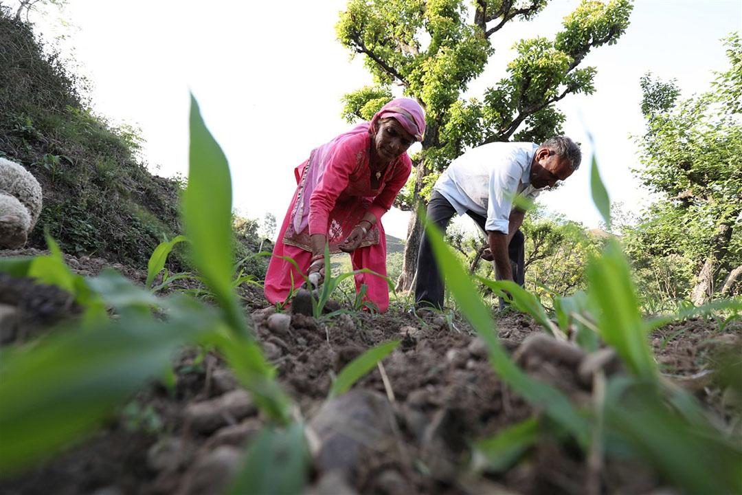 Boeren in India. Volgens de OESO belast India boeren door de prijzen kunstmatig te drukken. - Foto: ANP