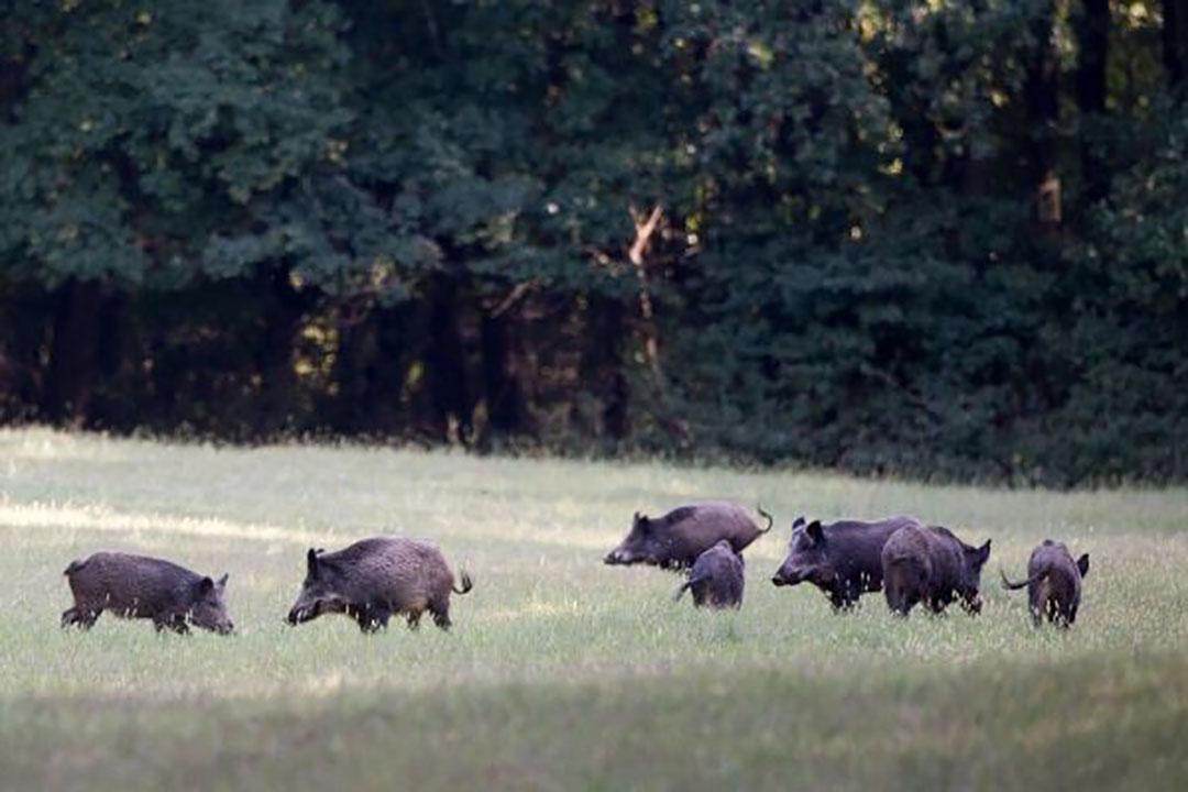 Afrikaanse varkenspest vormt sinds de introductie in Oost-Europa in 2014 een reële bedreiging voor de Nederlandse varkenshouderij.