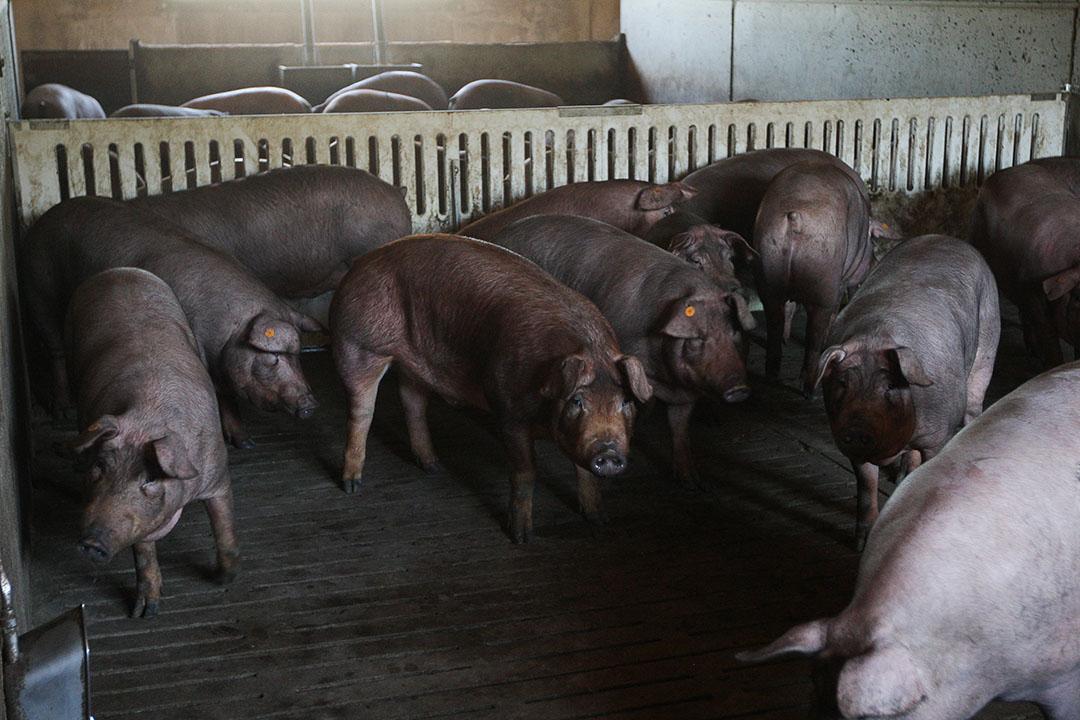 Varkensbedrijf in Spanje. In het eerste kwartaal werden in Spanje 13,99 miljoen varkens geslacht, een stijging van 2,5% in vergelijking met een jaar eerder. Foto: Ronald Hissink