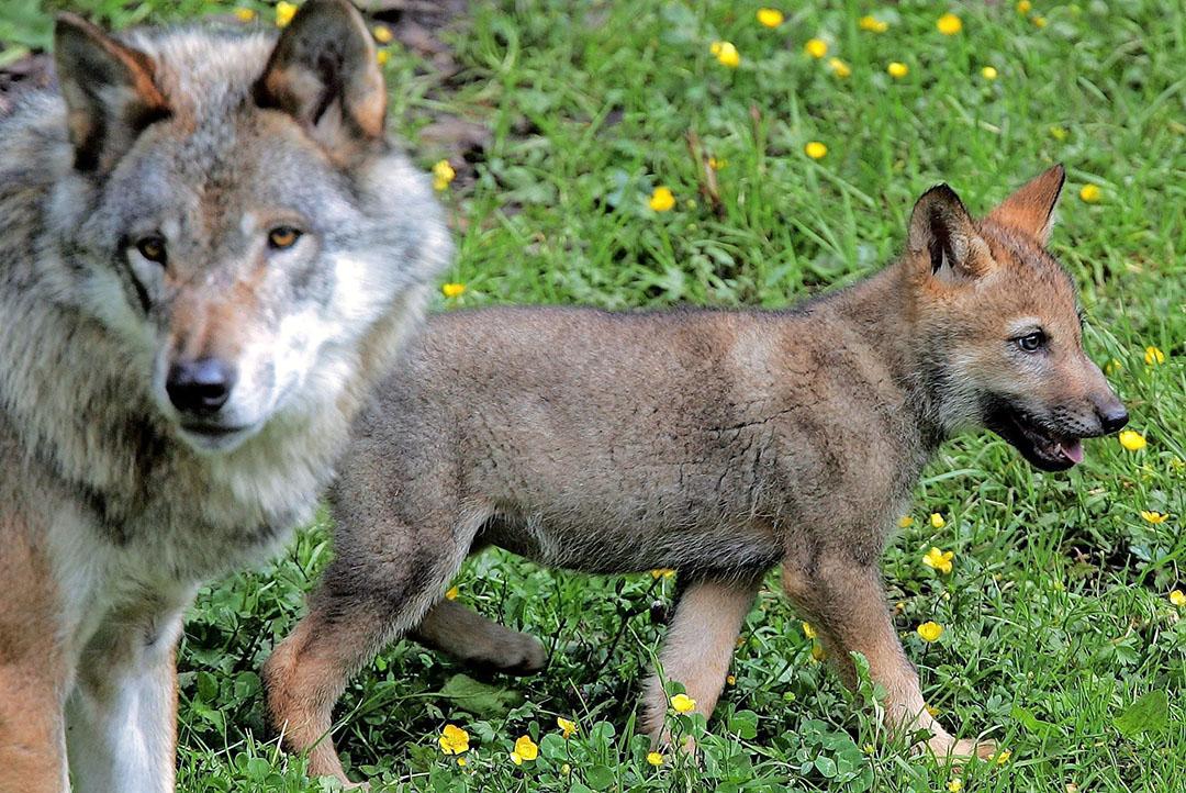 Een wolvin met een welp. Ecologen en 'wolvenexperts' verwachten dat er dit jaar opnieuw welpen worden geboren op de Veluwe (Gld.).  - Foto: ANP