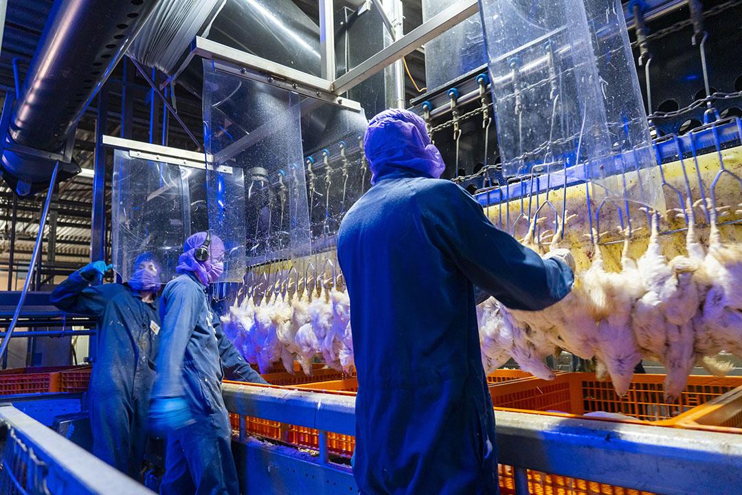 Pluimveeslachterijen nemen binnen en buiten de slachterij maatregelen om de kans op verspreiding van corona te beperken, zoals GPS in Nunspeet. - Foto: Ruud Ploeg